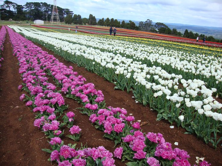 Early season visit to the Table Cape Tulip Farm