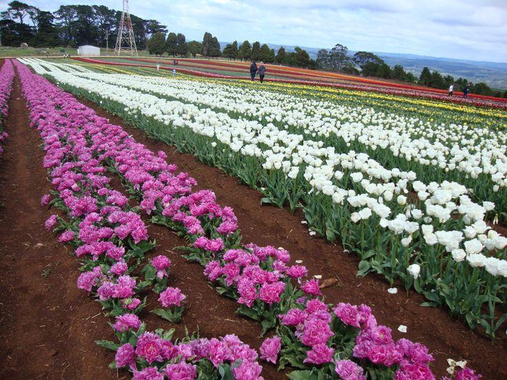 Early season visit to the Table Cape Tulip Farm