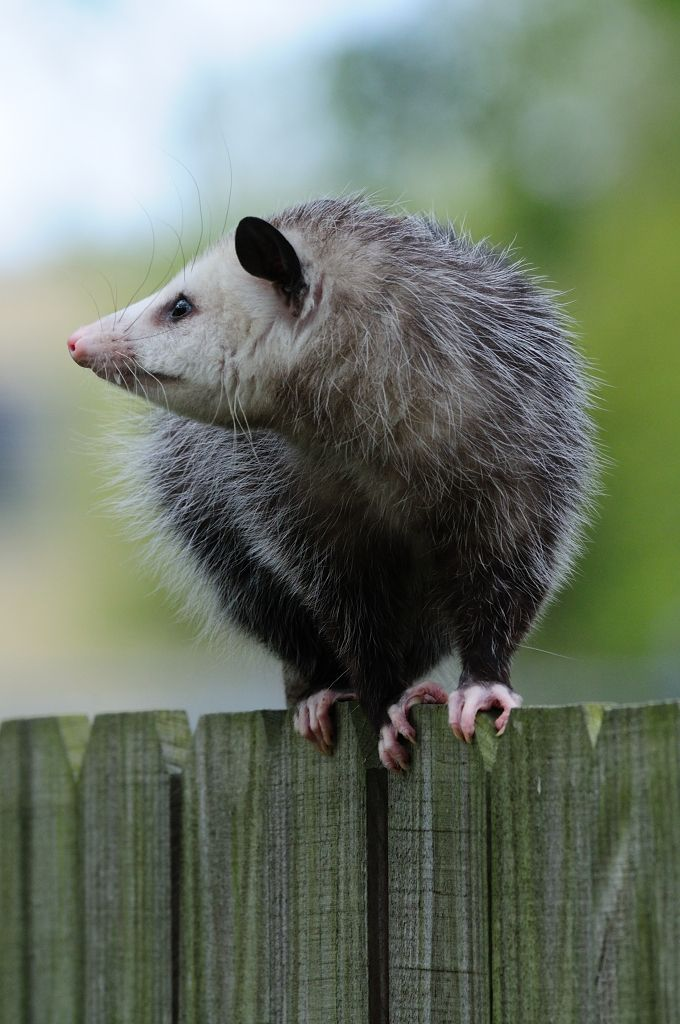"""Rapunzel"" opossum"