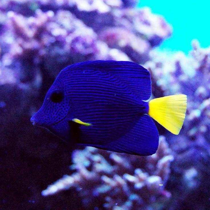 purple tang fish saltwater pinterest