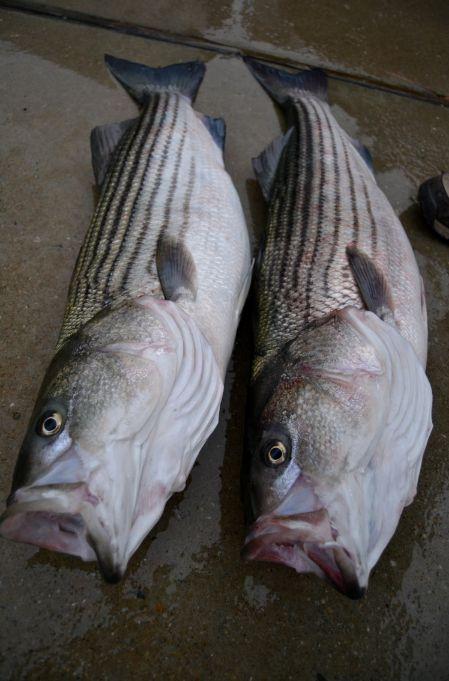 virginia striped bass season jpg 853x1280