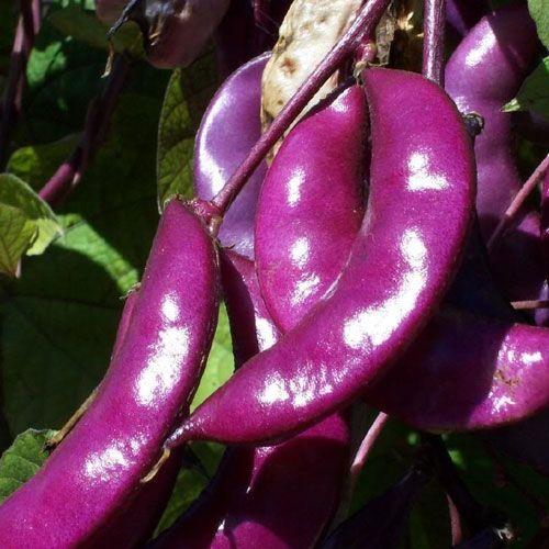 Hyacinth Bean Aspects And Its Medicinal Uses   Veggiesinfo #Hyacinth #Bean #HyacinthBean #Aspects #Medicinal #Natural #Green #Veggies #Nuts #Nutsandseeds #Recepies #kitchentips #Healthyfood #food #Veggiesinfo Find out the Medicinal Uses of Hyacinth Bean here: http://veggiesinfo.com/hyacinth-bean-aspects-and-its-medicinal-uses/