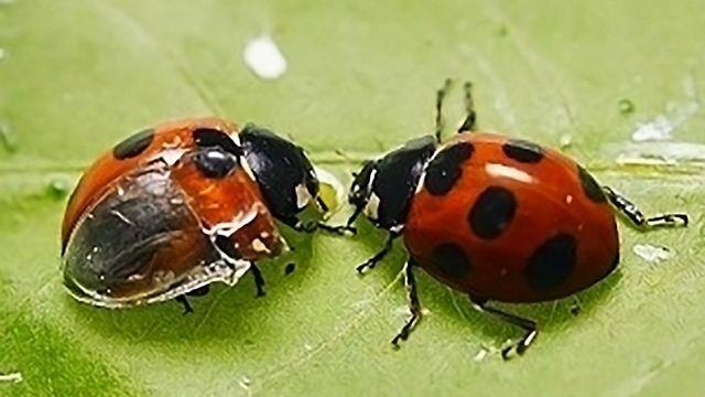 Ladybug Folds Its Giant Wings   Ladybug, Wings, Giants