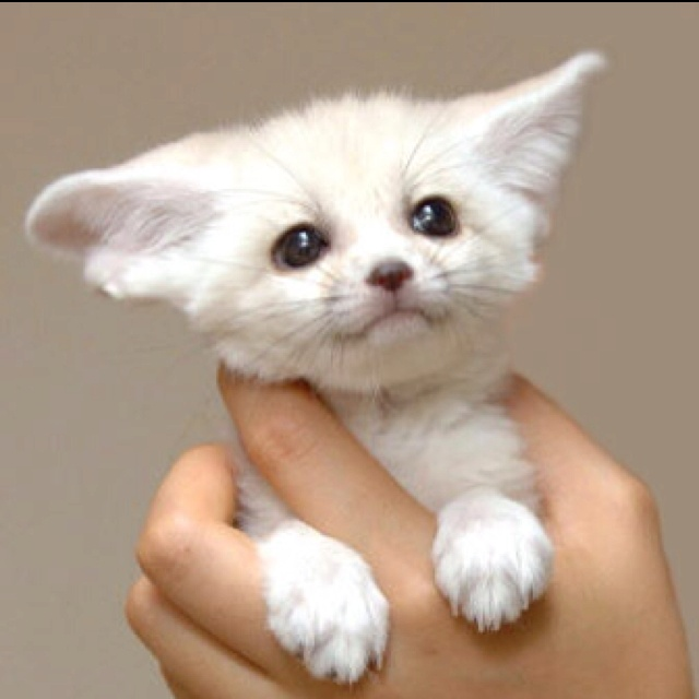 Fox pups fennec fox and foxes on pinterest