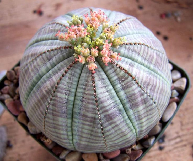 """Baseball Euphorbia (Euphorbia obesa) - to 8"""", This interesting succulent plant has a rounded shape like a baseball. Its gray-green flesh is marked with burgundy stripes."""