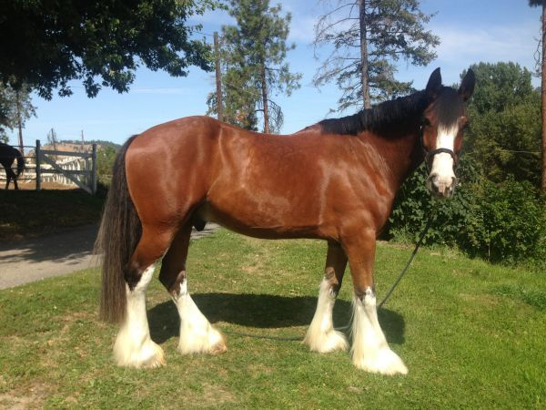 Ozzy is an 11 year old Clydesdale gelding. He is the perfect horse to learn on- lovely personality. A true gentle giant. I would take him out for trail rides bareback all the time with no problems. He\'s so gentle, great around kids.