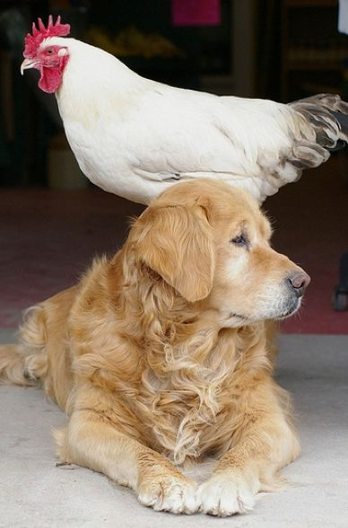 This is why I think a Golden would be a good fit for our family.  For a bird dog...it is possible.