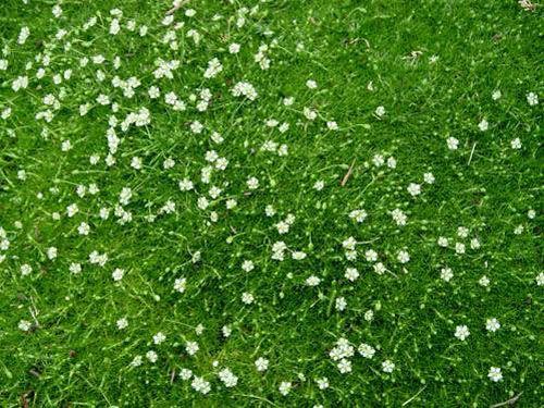 sagina subulata couvre sol fleurs blanches sur un feuillage vert tendre ressemblant une. Black Bedroom Furniture Sets. Home Design Ideas