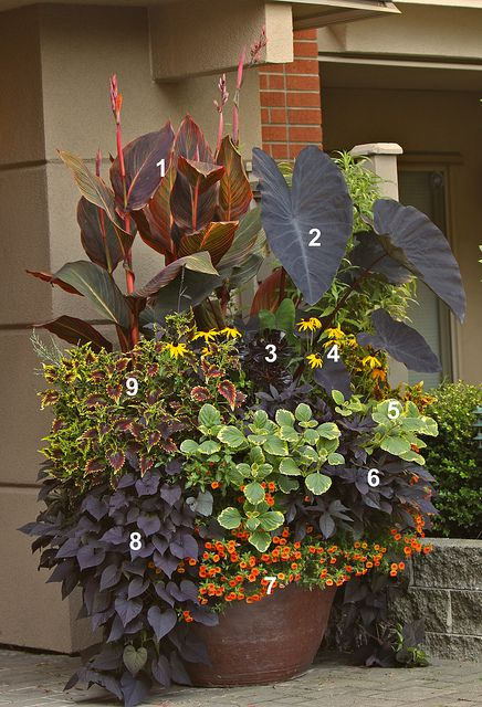ECHO COLORS: This container garden by Todd Holloway features echoes of black throughout: (1) Tropicanna® Black cannas, (2) Colocasia esculenta 'Black Magic', (3) Aeonium 'Zwartkop', (4) Rudbeckia fulgida var. sullivantii 'Goldsturm', (5) Plectranthus 'Lemon Twist', (6) Ipomoea 'Sweet Caroline Purple', (7) Calibrachoa 'Callie Orange', (8) Ipomoea 'Sweetheart Purple' and (9) Coleus 'Sky Fire'.  www.youreasygarden.com