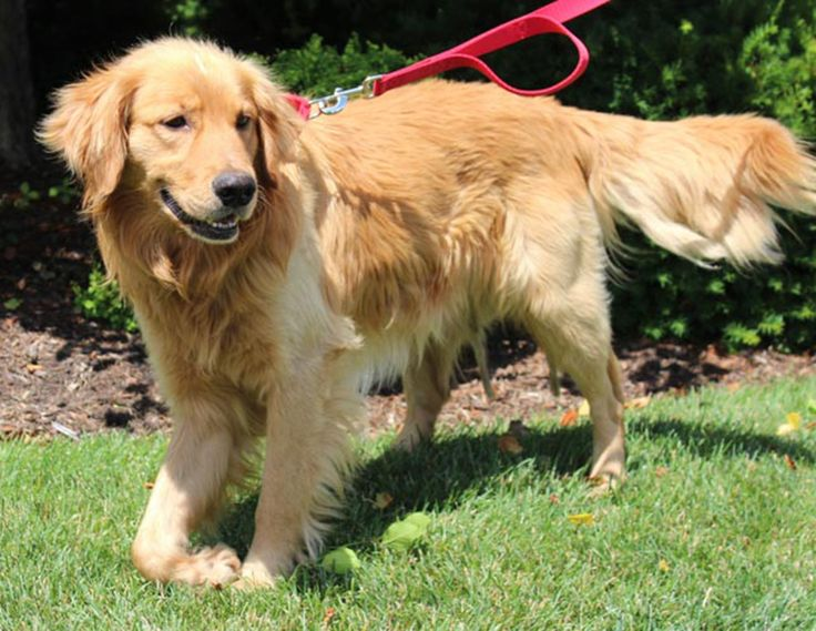 This is Sully - 4 yrs. His first owner became homeless and his second owner moved and left him behind. He  was hit by a car and has nerve damage to his right front paw, the left rear paw has some broken bones. He is extremely thin, has tick borne diseases and Ehrlichia. GRR Resource, OH. - http://www.gr-rescue.org/golden_retrievers_for_adoption_5.html