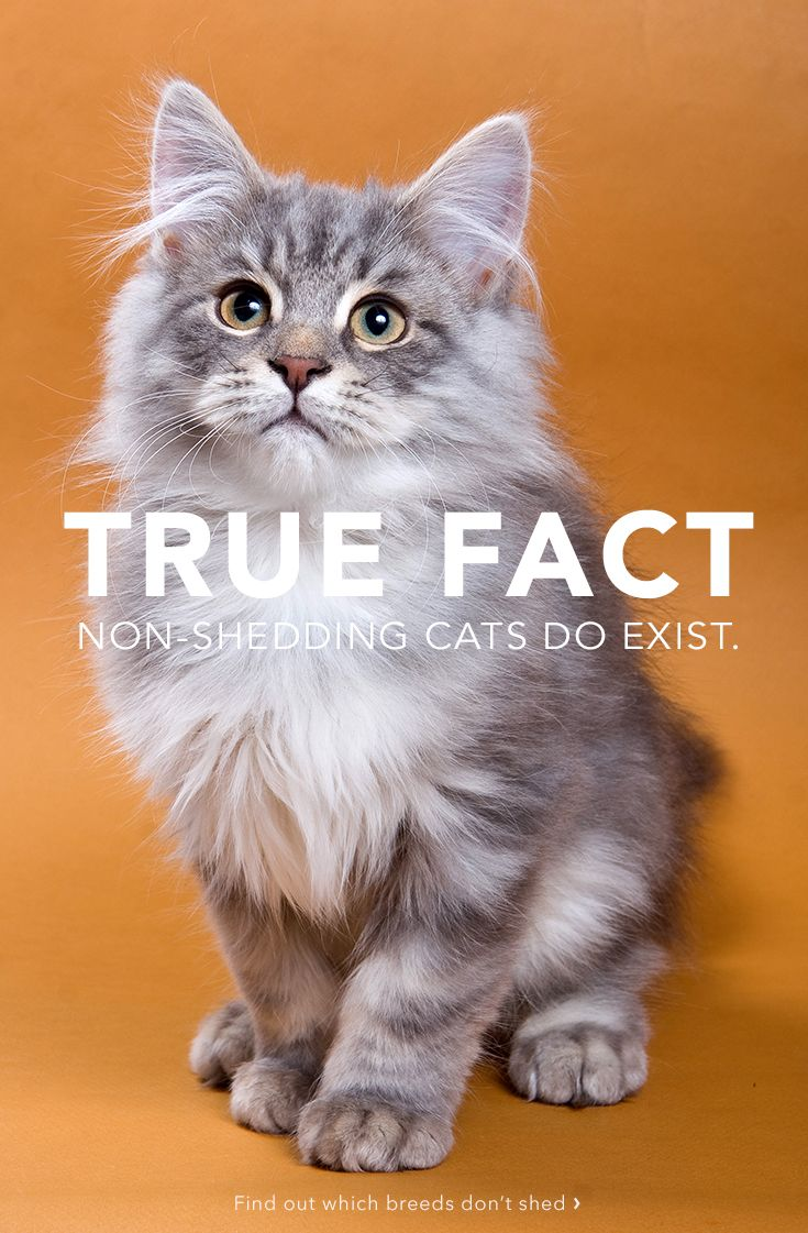 10 Top Non-Shedding Cats: Do you have cat allergies but really want a kitty? A non-shedding cat may be your solution!