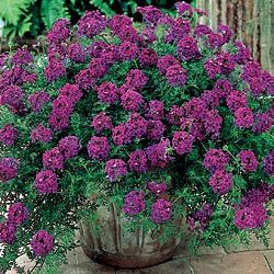 Ready for spring and gardening!! Hardy Verbena Easy-Care, No-Mow Carpet Weaves a