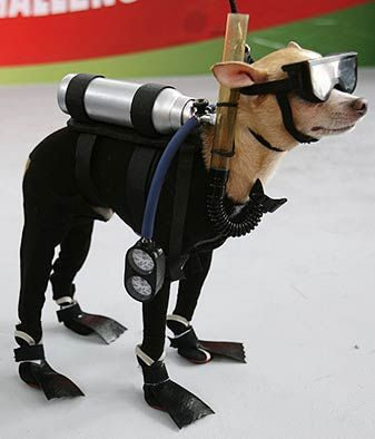 funny!: Funny Dogs, Halloween Costumes, Dogs Costumes, Scubas Diving, Scubadog, Pet Costumes, Chihuahua, Scubas Dogs, Animal