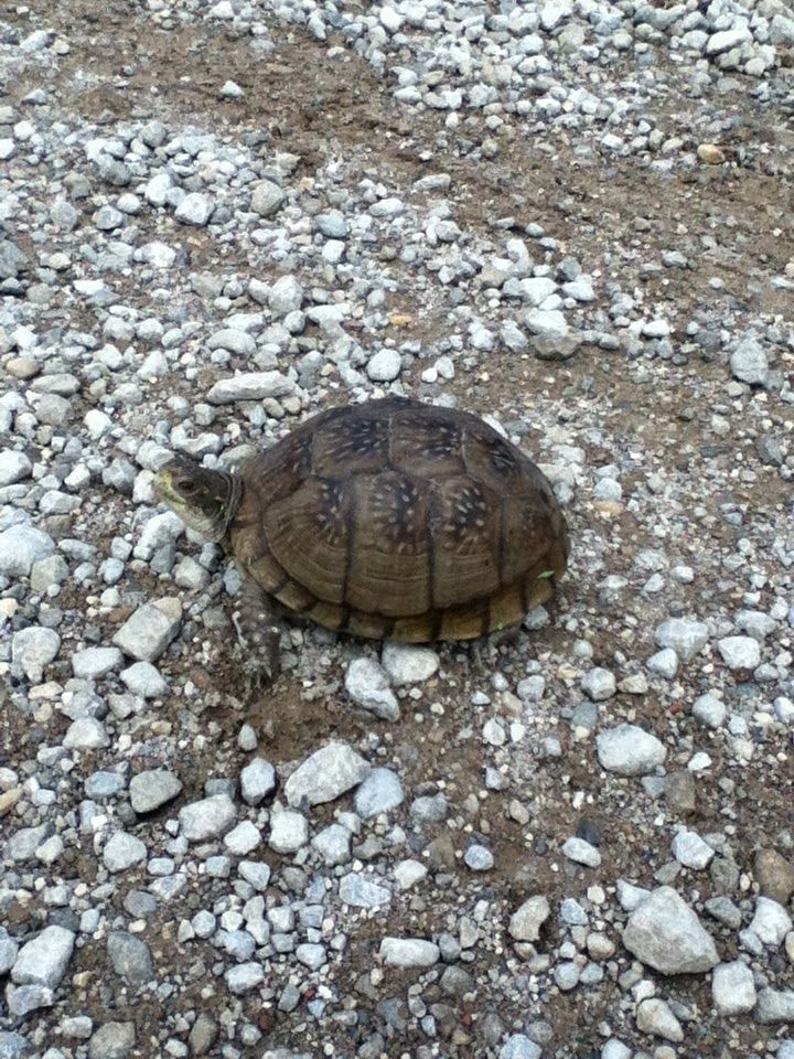 321 Best Images About Box Turtles On Pinterest