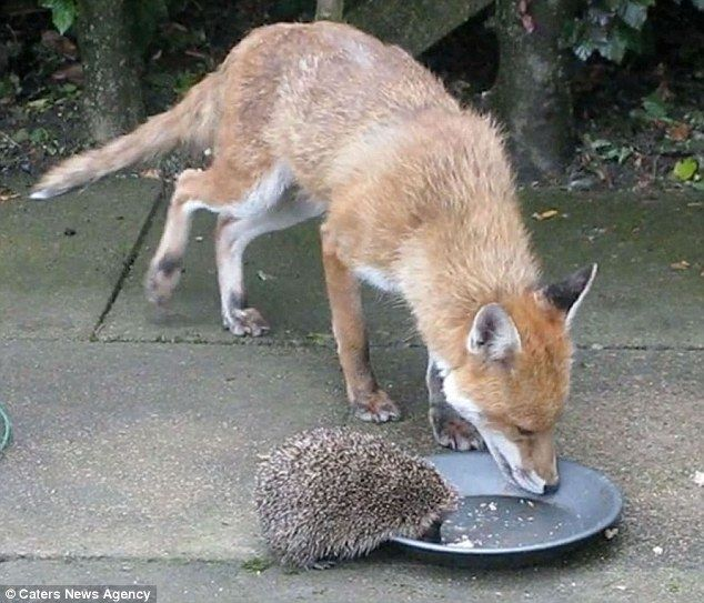 The bizarre pairing were spotted happily side-by-side enjoying a meal in Sue Massey's back garden in Leicester.
