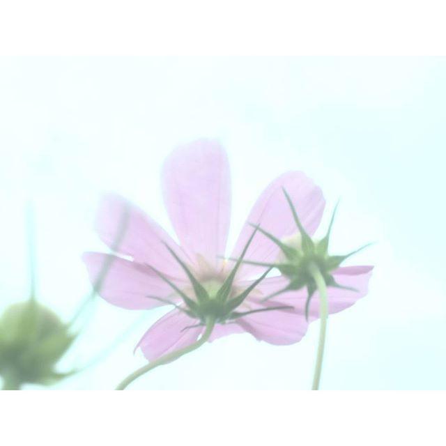 【14co】さんのInstagramをピンしています。 《一輪二輪… 咲き始めたなと想っていたのに 昨日通りかかったら 三輪四輪五輪…増えてました! この一角も綺麗だけど もっと沢山のコスモスに逢いたくなり 数年前に訪れたコスモス畑に行きたくなりました。 * * #川沿いのコスモス #コスモス畑 #花 #コスモス #秋桜 #秋 #桜 #fall #autumn #cherry blossoms #flower #nature #fortune #happiness #blessing * * #自然好きな人と繋がりたい #ハイキング #トレッキング #ゆるハイク # ユーシン #渓谷 #紅葉 #カメラ好きな人と繋がりたい #写真撮ってる人と繋がりたい #山鳩? * 20160911》