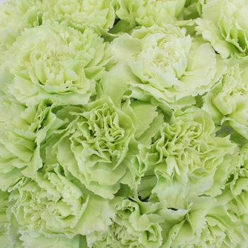 FiftyFlowers.com - Green Carnation Flowers