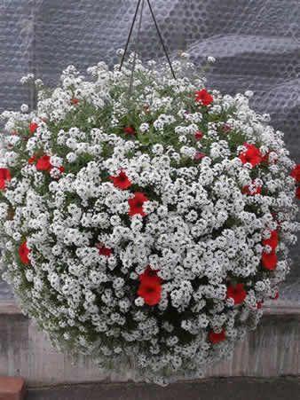 Подвесные корзины -  алиссум и петуния, красивое сочетание.