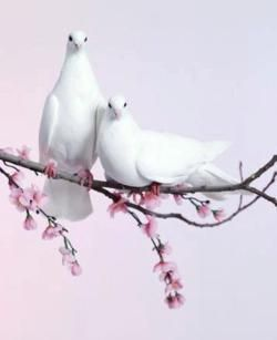 Doves on blossoms. So sweet, so tender, so beautiful... A picture of contented love!
