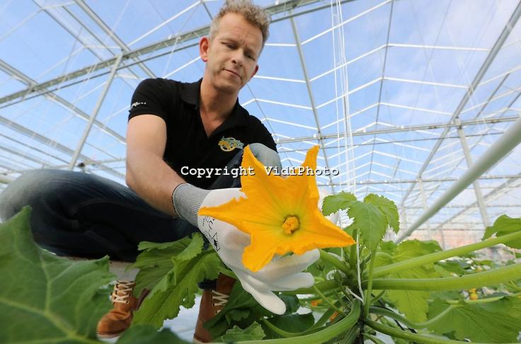 Oogst van courgettebloemen (courgettefleurs) bij Courgettefleurs Zwinkels in het Zuid-Hollandse 's Gravenzande. De bloemen van courgettes blijken na behandeling enorm smakelijk en zeer populair in de horeca. De bestuiving van de planten gebeurt op biologische wijze met hommels.. Foto: VidiPhoto..'s GRAVENZANDE -