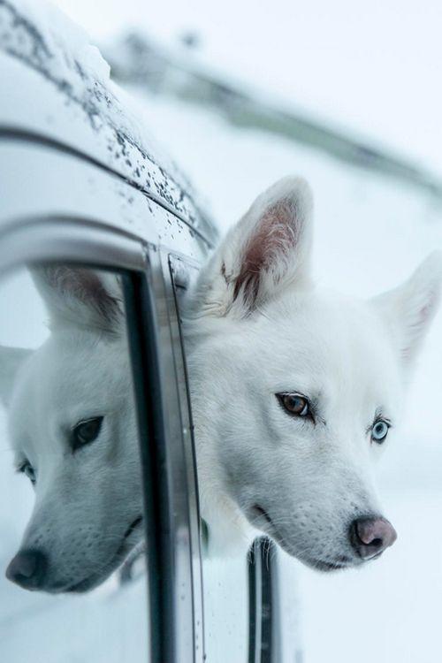 tumblr_myoovfxGwj1rub0hvo1_500.png (500×750)Beautiful Reflections, White Husky, Husky Puppies White, Blue Eye, White Siberian Husky, Crazy Eye, White Dogs, Snow White, Animal