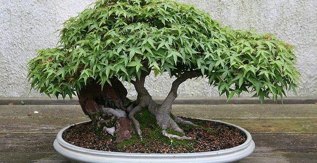 idées sur le thème Bonsai Erable sur Pinterest  Bonsai interieur ...