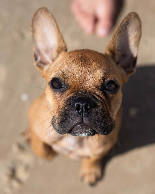 Chilli French Bulldog 16 W O The Spit Gold Coast Qld
