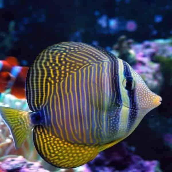 Pin On Tangs Surgeonfish