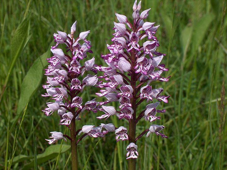 Orchis militaris dolomites - Soldaatje - Wikipedia Soldaatje, Rode Lijst Nederland, zeldzame plant