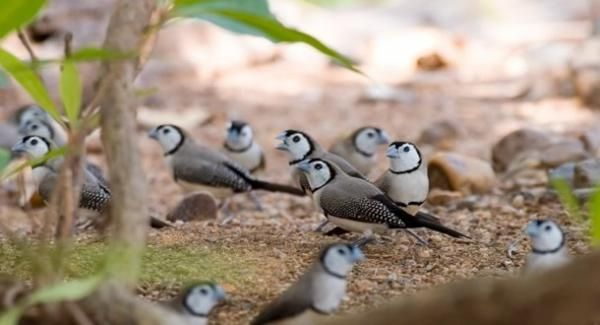 Indigenous Weather Knowledge - Niyini: the Double-barred Finch is a small bird native to northern and eastern Australia. The presence of the bird is viewed as an indicator of the existence of areas of water during dry season.