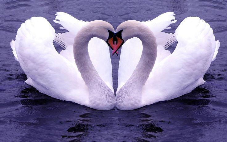 swan/kuğu