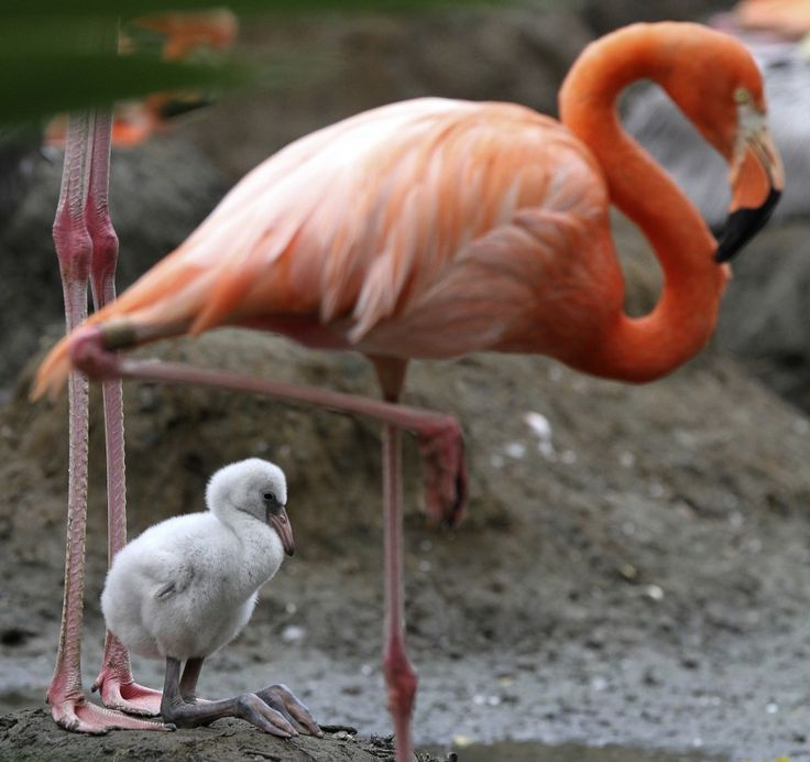 A pink flamingo (Phoenicopterus ruber), born in captivity ten days ago, is seen at the zoo in Cali, Columbia January 21, 2012. (Reuters)