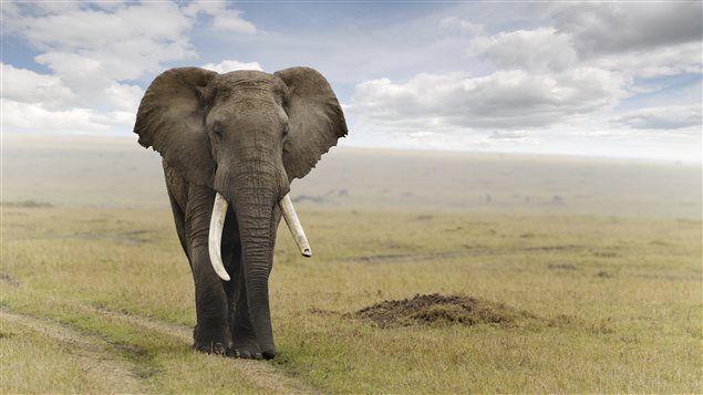 L'éléphant d'Afrique menacé à casue du braconnage pour l'ivoire. Quelle tristesse et quelle démonstration du côté sombre de l'homme.