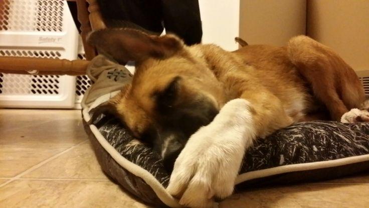 Fresh out of the tub  boxer shepherd mix named okey dog