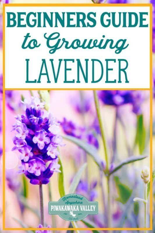 A Beginner's Guide To Growing Lavender in the Garden – Vegetable/Fruit Gardening