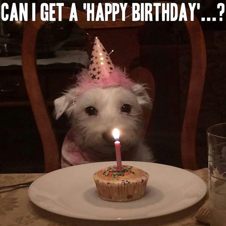 89 best Dogs images on Pinterest Australian cattle dog Blue