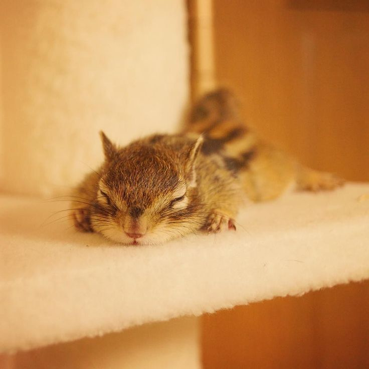 #Tod Sweet dreams. おやすみトッド #chipmunk #cutenessoverload #シマリス by bikke_the_chip
