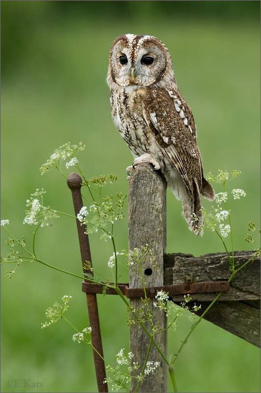 Tawny owl or brown owl