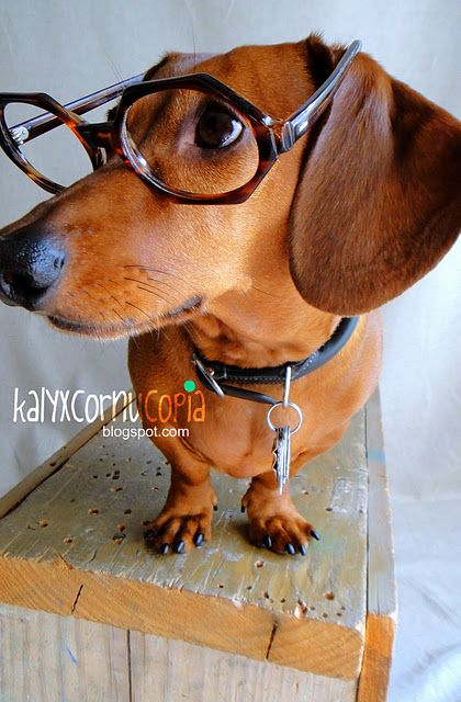A clever Daschund...They really are smart