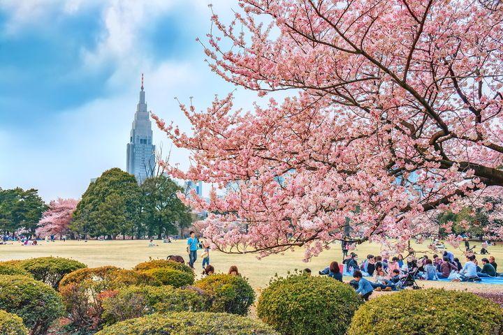 Japan 2020 Cherry Blossom Festival Updated Dates Japan Cherry Blossom Festival Japan Travel