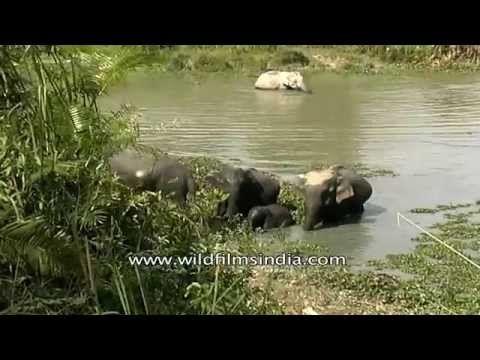Elephants bathing in Kaziranga.