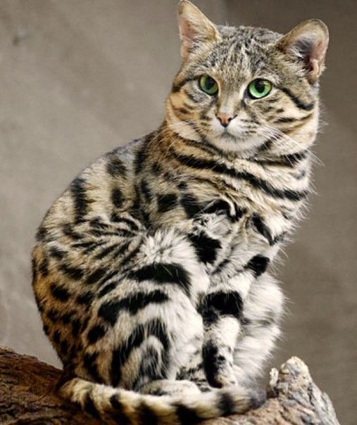 The black footed cat is the smallest African wild cat