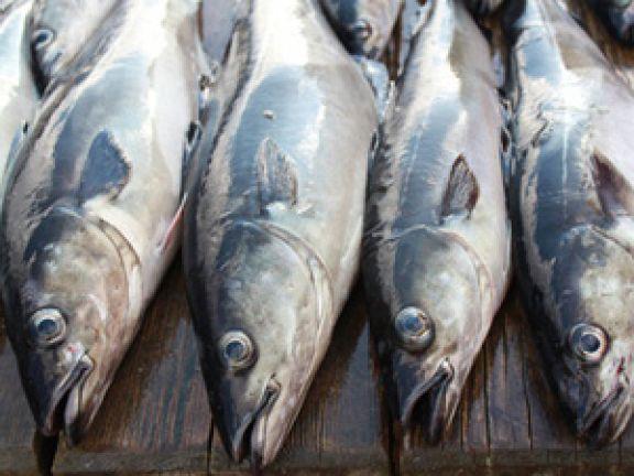 Warenkunde Seelachs: Lesen Sie bei EAT SMARTER alles über den leckeren und gesunden Fisch aus nördlichen Meeren.