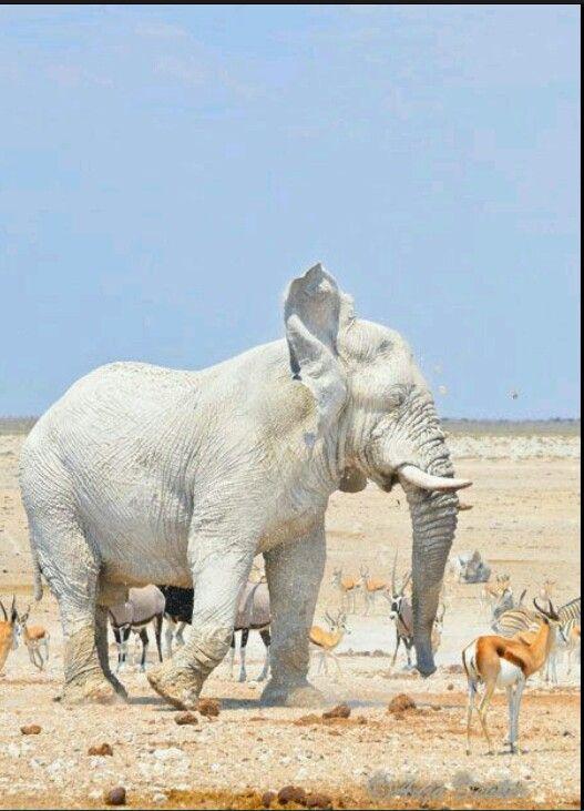 Albino elephant