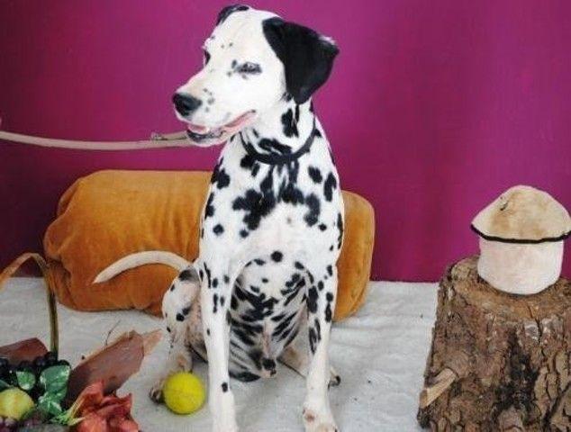 Rocco Chien Dalmatien A Adopter Chien A Donner Chien Adopter Un Chiot