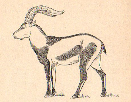Pyrenean Ibex.  Declared extinct in 2000.  Cause of extinction:  Hunting