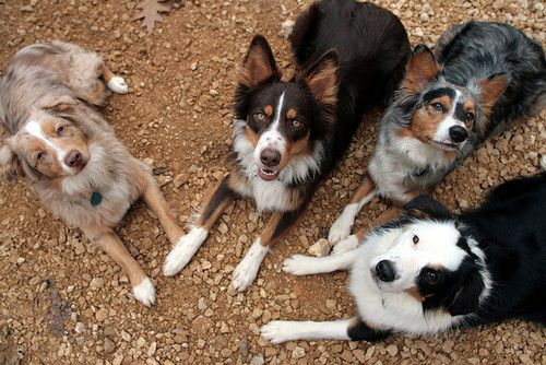 aussies: Border Collie, C Cowdogs, Aussies I, Aussies 3, Aussies Forever, Jacie Dogs Animals, Beautiful Dogs, Big Dogs, Friend
