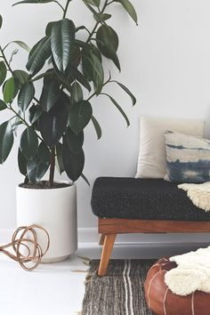 How to care for ficus elastic rubber plant