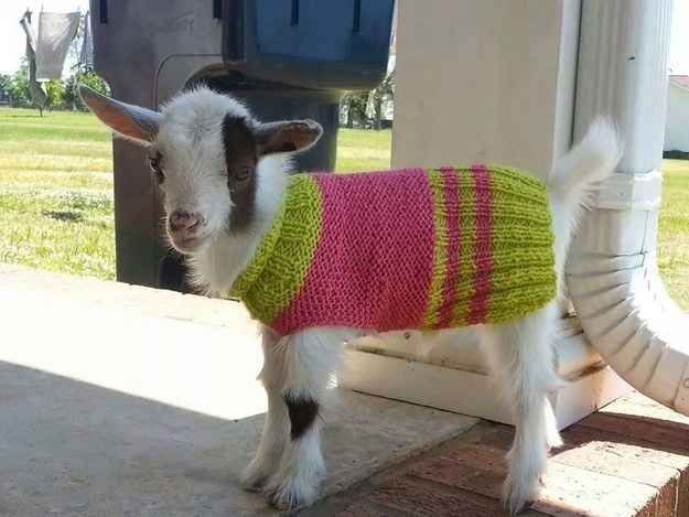 Best Goats Wearing Coats Images On Pinterest Baby Goats A - 22 adorable animals wearing miniature sweaters