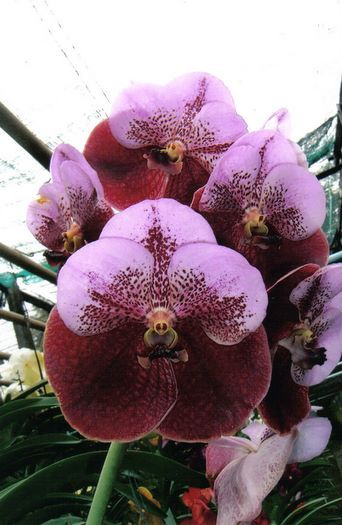 Vanda Thonglor orchid